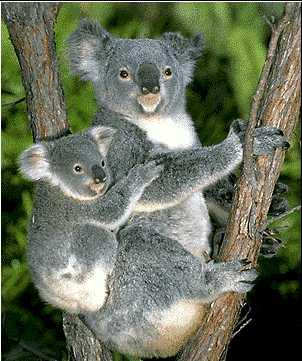 http://www.cybertraveltips.com/images/Austrailian-Koala-Bears.jpg